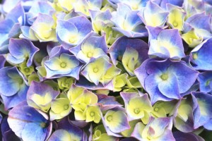 Hydrangea,Big-leaf Hydrangea,Laurustinus,background of purple with yellow natural flowers in full bloom,closeup