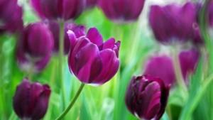tulip-represent_10ec417b5818b504